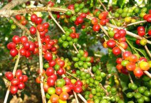 kebun-kopi-daerah-foto-citraindonesia-670