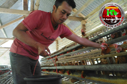 Cuaca Ekstrem dan Ayam Petelor Mati Peternak Keluhkan Aktivitas Dinas Peternakan